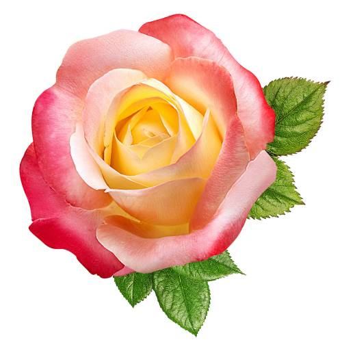 Rose-11-Main-Product-Image