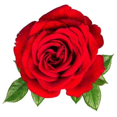 Rose-13-Main-Product-Image