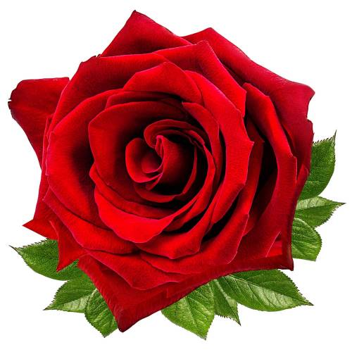 Rose-2-Main-Product-Image