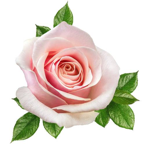 Rose-3-Main-Product-Image