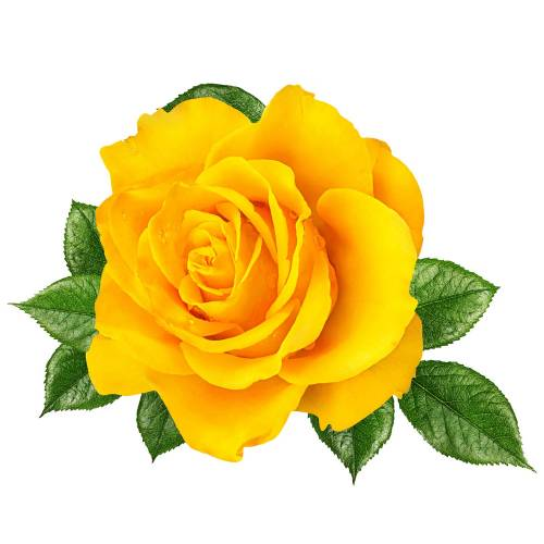 Rose-4-Main-Product-Image