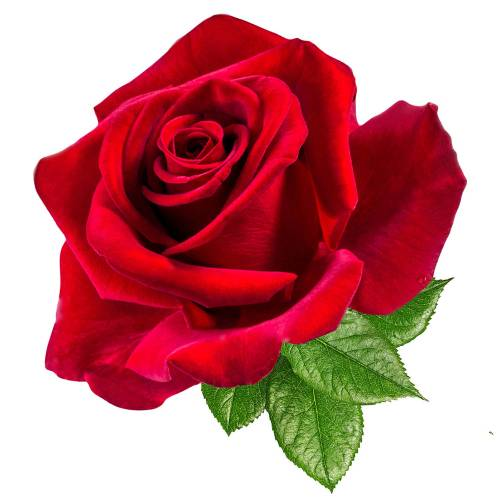 Rose-5-Main-Product-Image