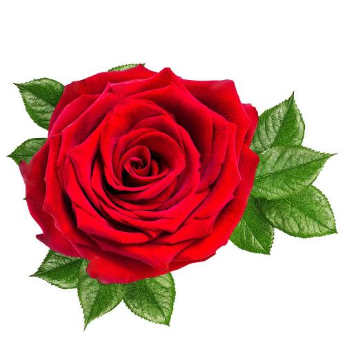 Rose-6-Main-Product-Image