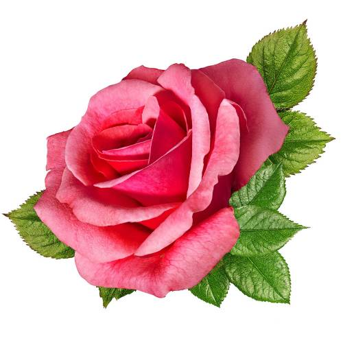 Rose-7-Main-Product-Image