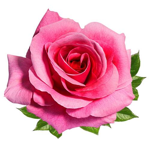 Rose-8-Main-Product-Image
