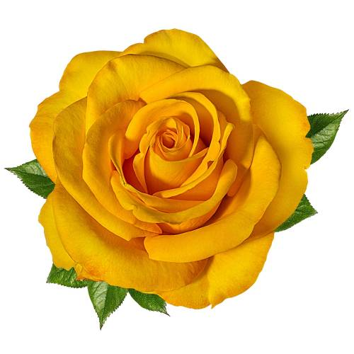 Rose-9-Main-Product-Image